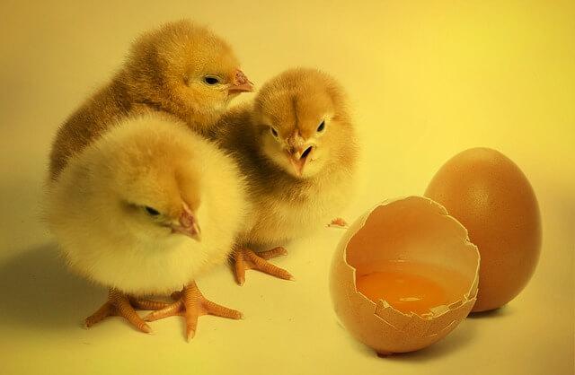 ヒヨコと割れた卵